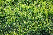 Grass, Lawn, A Texture Of Grass Blades, Grass And Lawn Texture poster