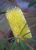 banksia flower yellow