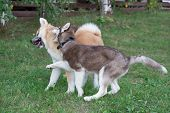 Siberian Husky Puppy And Akita Inu Puppy Are Playing On A Green Meadow. Pet Animals. poster