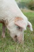 Head Closeup On Pig Eating