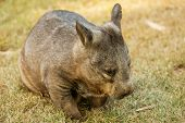 Southern Hairy-nosed Wombat poster