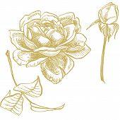 Roses. Hand Drawn Flower Set Illustrations. Botanical Plant Illustration. Vintage Medicinal Herbs Sk poster