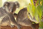 Australian Koala Joey. poster