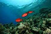 Coral Reef with Common Bigeye Fish