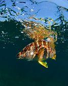 Schoolmaster snapper underwater