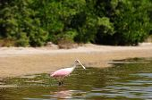 Roseate spoonbill in water near beach