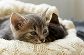 Brown Striped Kitty And Gray Kitty Sleeps On Knitted Woolen Beige Plaid. Little Cute Fluffy Cat. Coz poster