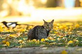 Tabby Cat Hunts Magpie On A Bright Autumn Day poster