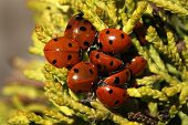 Group of Ladybird Beetles.