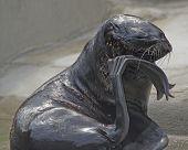 Thoughtful Seal