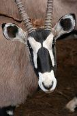 Gemsbok Antelope Portrait