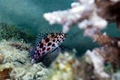 picture of hawkfish  - Pixie hawkfish  taken in the Red Sea - JPG
