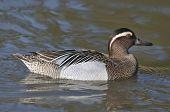 Male Garganey Duck