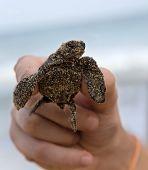 Loggerhead Turtle Baby In Hand