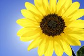 Close-up Of Sunflower With Sun Halo