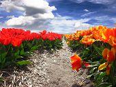 Tulip Row In Netherlands
