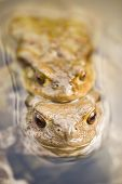 Toads In Water, Bufo Bufo
