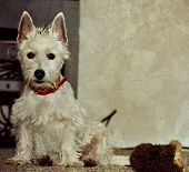 Westhighland Terrier And Play Toy