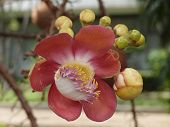 picture of cannonball-flower  - Cannonball tree flower  - JPG