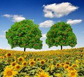 Apple  trees on sunflower field