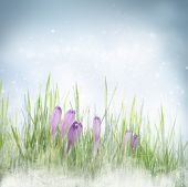 stock photo of early spring  - Winter or early spring nature background with frozen grass and crocus flowers - JPG