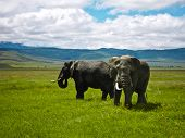 Two Elephants at Ngorongoro