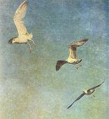 foto of albatross  - Vintage photo of flying seagulls - JPG