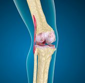 stock photo of skeletal  - Human knee joint on blue - JPG