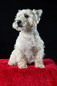 stock photo of westie  - Studio portrait of an alert West Highland White Terrier or Westie sitting on a red carpet with a dark background - JPG