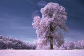 Tree in bloom in spring with infra red on meadow