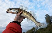 Walleye caught on handmade lure in fisherman's hand against cloudy sky