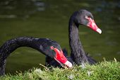 Close up of two black swans