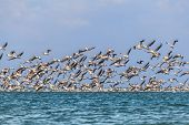 Migration Of Pelicans