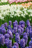 hyacinth flowerbeds