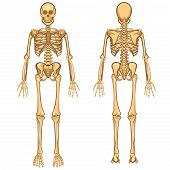stock photo of skeleton  - Human Body Anatomy Skeleton and Internal Organ Vector Illustration - JPG