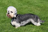 Dandie Dinmont Terrier On A Green Grass Lawn