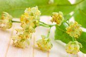 Lime Blossom -tilia Platyphyllos . Close Up Shot.