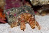 Diogenes-crab. Paguristes Ortmanni.