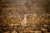 Wild African Kori Bustard