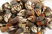 close up of boiled goose barnacle