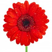 single red gerbera head flower close up isolated on white background
