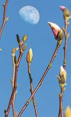 Pink Magnolia Flowers Over Blue Sky With Moon