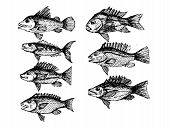 picture of loach  - an images hand drawn fish Vector illustration - JPG