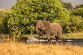 African Elephant crosses the river