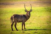 African Waterbuck Antelope