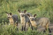 Bat-eared Foxes (otocyon Megalotis) Tanzania