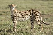 Female Cheetah (acinonyx Jubatus) In Tanzania
