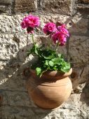 picture of assis  - Geraniums in a hanging terra cotta flower pot in Assis Italy - JPG