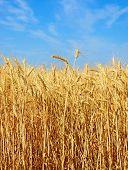 Wheat Ears On A Field.