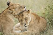 Two Female Lions Grooming (panthera Leo) In Tanzania